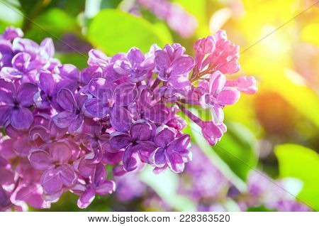 Lilac Flowers In Spring Garden. Spring Background With Spring Lilac Flowers. Blooming Lilac Flowers