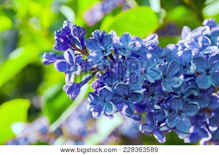 Spring Background With Lilac Flowers. Blooming Lilac Flowers Lit By Sunlight. Lilac Spring Flowers -