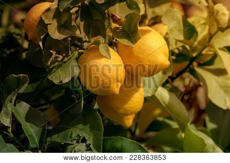 Ripe, Yellow Lemons Hang On A Tree In A Orchard Close-up On A Sunny Day