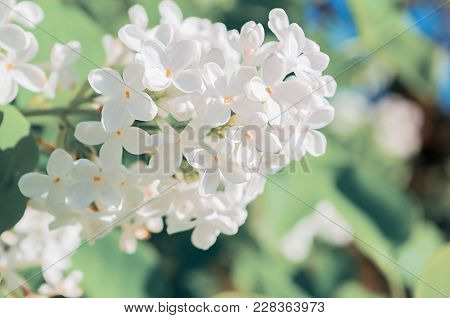 Lilac Flowers, Spring Flower Background. Closeup Of White Lilac Flowers In Spring Garden. Spring Flo