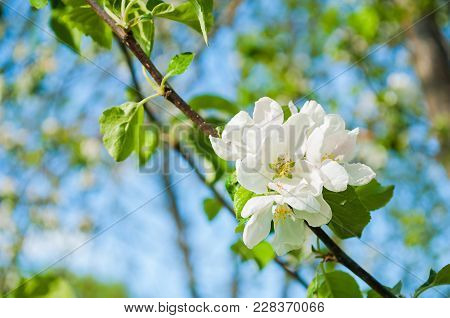Spring Apple Tree With White Flowers In Blossom On The Background Of Blue Sky, Spring Background. Sp