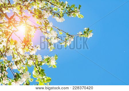 Spring Landscape. Spring Flowers Of Blooming Spring Apple Tree Against Blue Sunny Sky, Colorful Spri