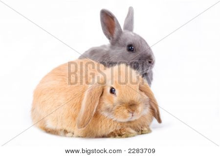 Brown-White And Grey Bunny Isolated On A White