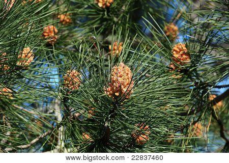 The Scots Pine (pinus Sylvestris) On The Highest Dune In Europe - Dune Of Pyla (pilat), Arcachon Bay