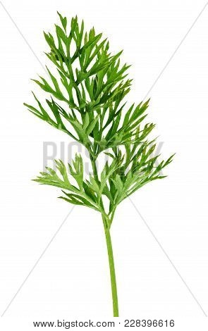 Green Carrot Leaf Isolated On White Background