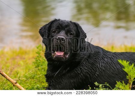 Big Black Dog Labrador Retriever Play With Wooden Stick, Adult Purebred Lab In Summer Green Park Nea