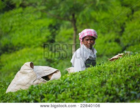 MUNNAR, INDIA - DECEMBER 7 : Unidentified woman picks tea leaves in a tea plantation on December 7, 2010 in Munnar, Kerala, India.  Munnar is best known as India's tea capital.