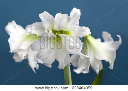 Amaryllis Hippeastrum Double Flowering Ice Queen Close Up