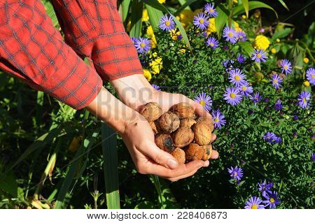 Gardener Harvesting Walnuts, Holding Walnuts And Husks In Her Hands. Walnuts Harvest.