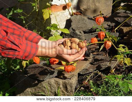 Gardener Harvesting Walnuts, Holding Walnuts And Husks In Her Hands.