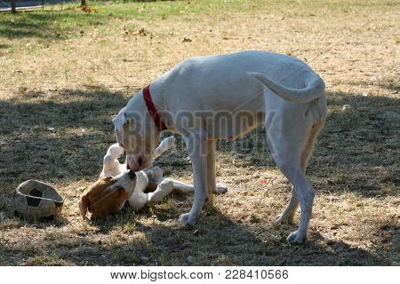Powerful Dogo Argentino Playing With Beagle In Dog Park