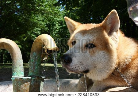 Portrait Of Thirsty Akita Inu Drinking Water In Public Park