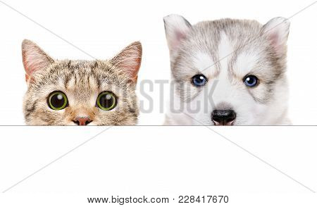 Husky Puppy And Scottish Straight Cat Peeking From Behind A Banner, Isolated On White Background
