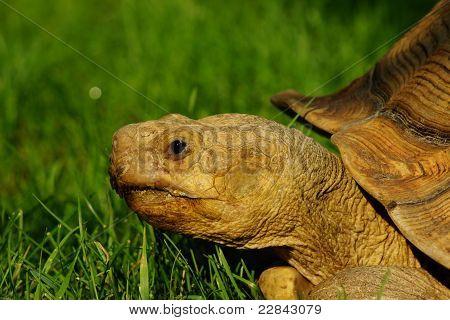 African Sulcata Spur Thigh Tortoise