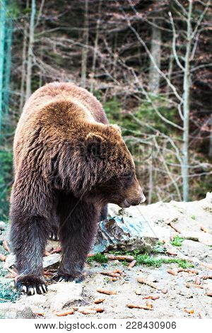Brown Bear In The Reserve.