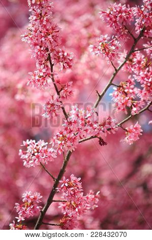 Branch Of Pink Kwanzan Cherry Tree In Full Bloom. Selective Focus. Vertical