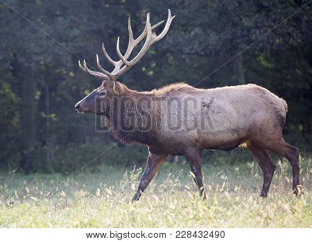 Close Up, Profile Of A Large Bull Elk, In Rut, Searching For Cows