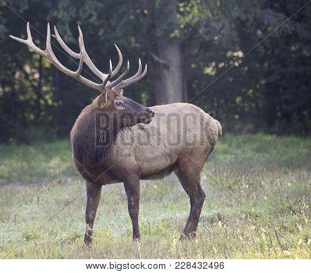 Large, Bull Elk In Rut, Alert And Bugling For Cows