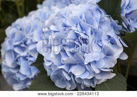 A Bouquet Of Blue Hydrangeas For Different Occasions