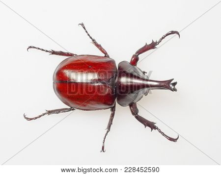Fighting Or Rhinoceros Beetle Shot Top View Isolated On White Background Which Male Beetles Are Used