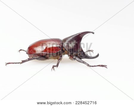 Fighting Or Rhinoceros Beetle Shot Side View Isolated On White Background Which Male Beetles Are Use