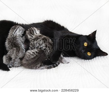 Cat Feeds The Kittens. The Cat Guards And Protects The Kittens. Cat And Kittens
