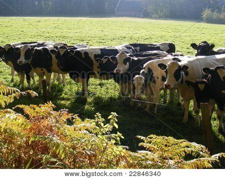 Curious cows in a row