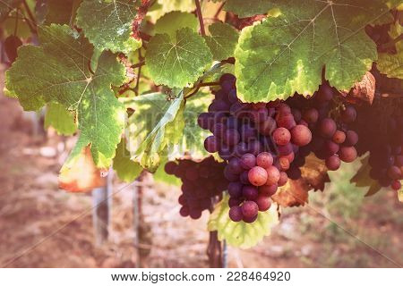 Autumn Vineyards With Organic Grape On Vine Branches. Wine Making Concept In Vintage Style