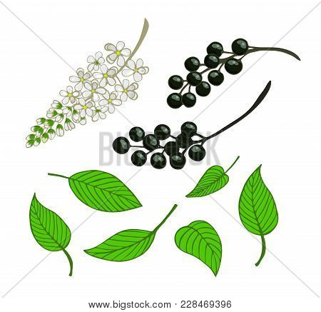 A Set Of Bird Cherry. Isolated Berries, Flowers And Leaves Of Mayday Tree. Vector