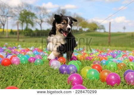 Tricolored Border Collie Puppy Have Fun With Colorful Balls In The Garden