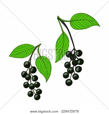 Two Isolated Bunch Bird Cherry, Hackberry Or Hagberry. Vector