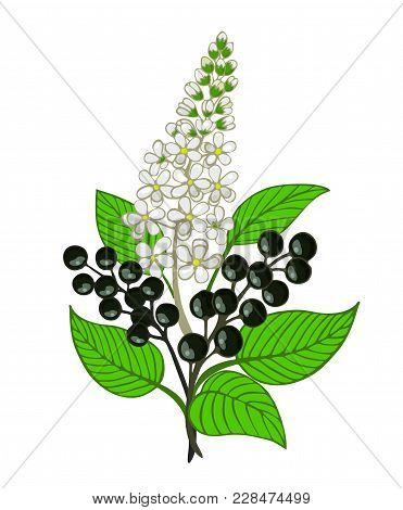 A Bouquet Of Bird Cherry Branch With Berries And Inflorescence. Vector