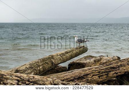 A Seagull  Sits On A Driftwood Log.