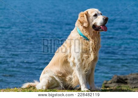 Golden Retriever Dog Wearing Turqiose Collar Sitting Near The Beach