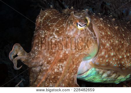 Close-up Of A Broadclub Cuttlefish (sepia Latimanus). Anilao, Philippines