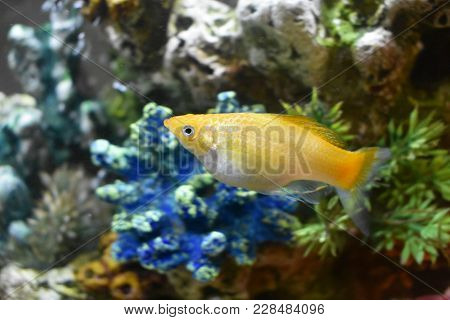 Creamsicle Lyre-tailed Molly In My Fish Tank