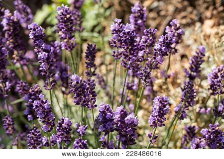 The Flourishing Lavender  In Provence, Near Sault, France