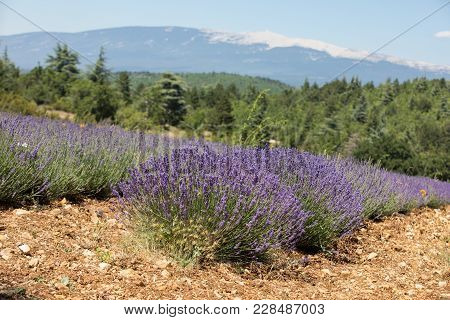 Lavender Field Near Sault  And Mont Ventoux In The Background. Provence, France
