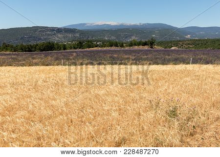 Cornfield And Lavender Fields Near Sault And Mont Ventoux In The Background. Provence, France