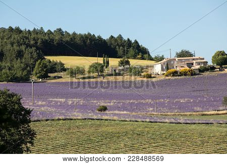 Lavender Field Near Sault In Provence,  France