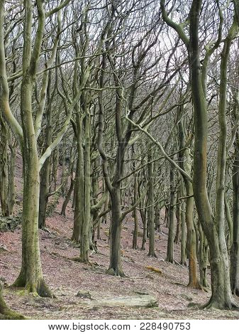 Tall Stark Bare Winter Trees In Crowded Dense Woodland On Rocky Hillside Ground