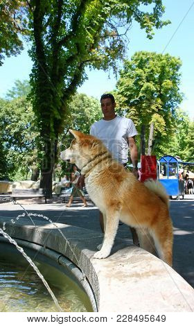 Thirsty Akita Inu By Public Fountain Waiting To Drink Water