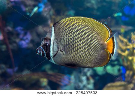 Redtail Butterflyfish (chaetodon Collare) In The Indian Ocean