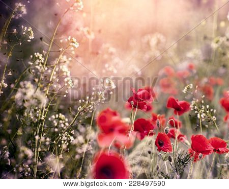 Red Poppy Flower In Meadow Between Little White Flowers - Beautiful Nature