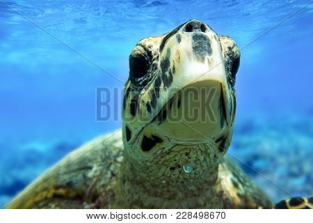 Hawksbill Sea Turtle Swimming In Indian Ocean In Maldives, Close Up, Portrait
