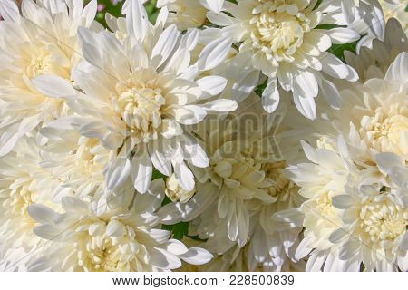 These Gorgeous, Clean, White Mums Have Pale Yellow Centers.