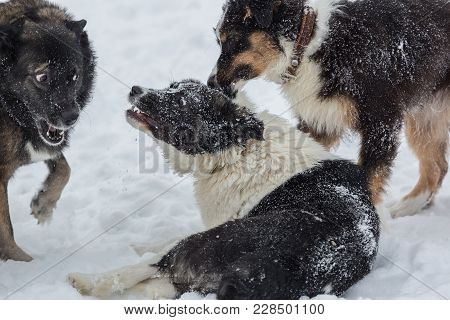 Three Dogs Playing Outdoors At Snowy Day