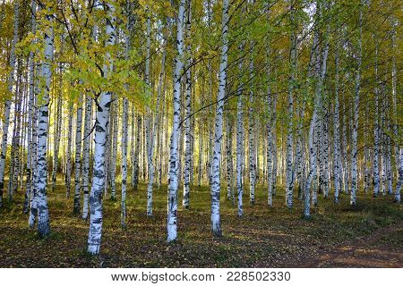Birch Grove At Autumn, Golden-green Leaves, Light Comes From Behind