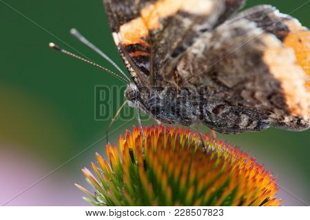 Red Admiral Butterfly Family Nymphaldae On Purple Coneflower
