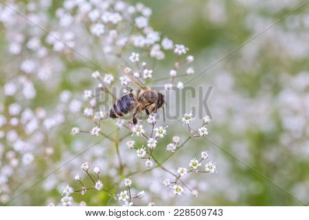 Bee Collect Nectar On White Small Flower Gypsophila Paniculata, Baby's Breath, Common Gypsophila, Pa